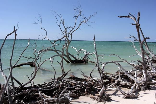 Dead mangroves in Jutia Key, Pinar del Rio province