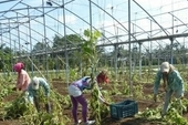 At the La Sigüaraya farm, everything that can still be saved is being harvested, while greenhouses are prepared for seedlings.