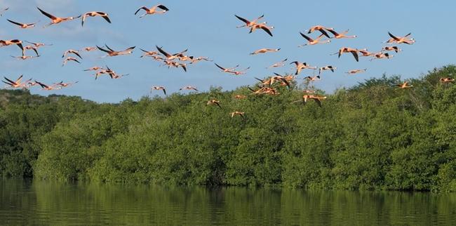 Flamingos fly at Rancho Luna nature reserve, Cuba